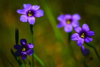 blueeyedgrassflowers